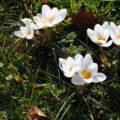 Italian spring flowers