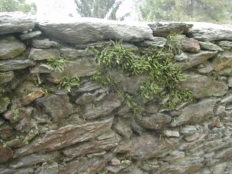 ferns on a wall, Italian Alpine village