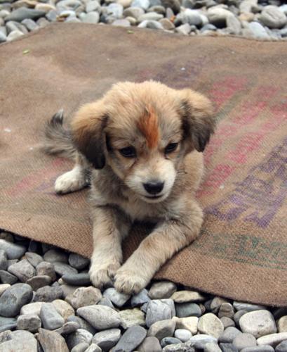 Mussoorie: puppy