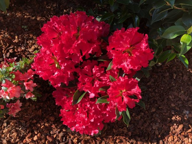red rhododendron blossoms.
