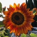 large red-yellow sunflower